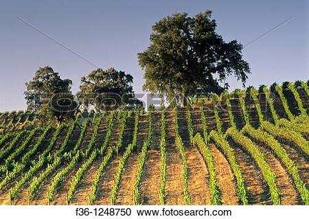Stock Photography of Vineyards at Summerwood Winery, Paso Robles.