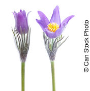 Pulsatilla Images and Stock Photos. 808 Pulsatilla photography and.