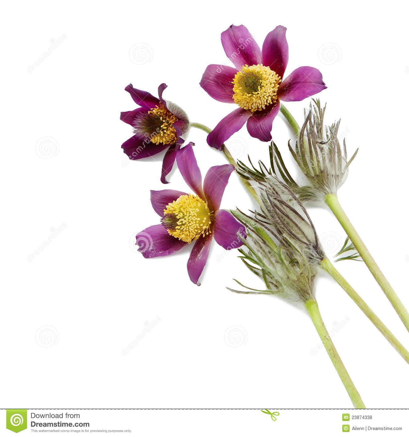 Pasque flower clipart #11