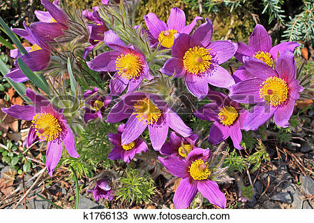 Stock Photo of Pasque Flower (Pulsatilla vulgaris) k1766133.
