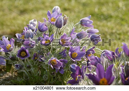 Stock Photography of Pasque flower (Pulsatilla vulgaris) x21004801.