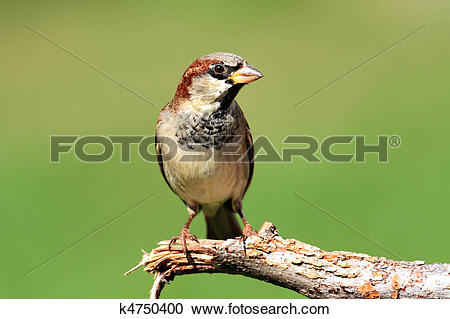 Stock Photography of House Sparrow (Passer domesticus) k4750400.