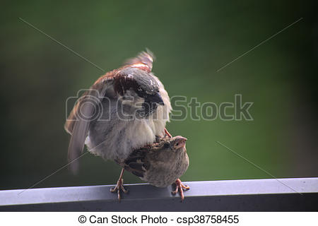 Stock Images of Two house sparrows (Passer domesticus) in the act.
