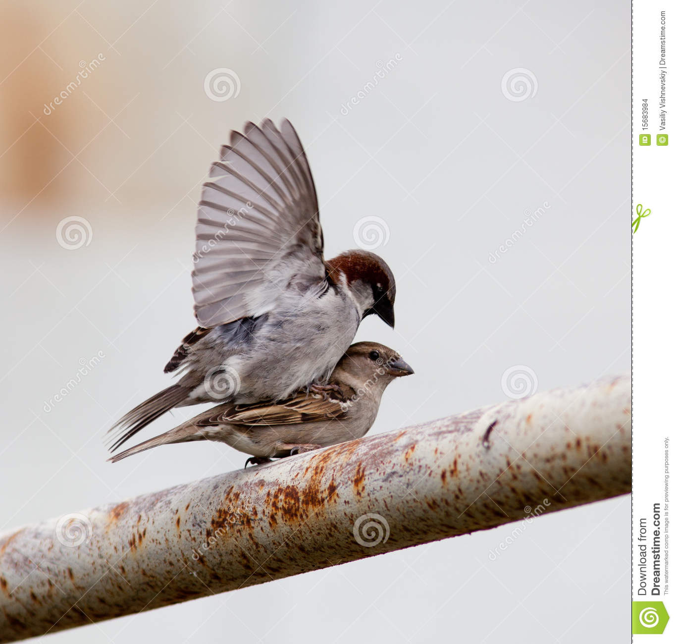 House Sparrow, Passer Domesticus Stock Images.