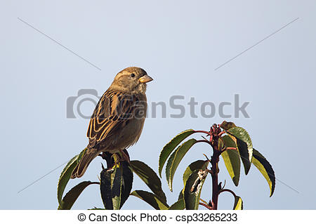 Stock Photos of House Sparrow (Passer domesticus).