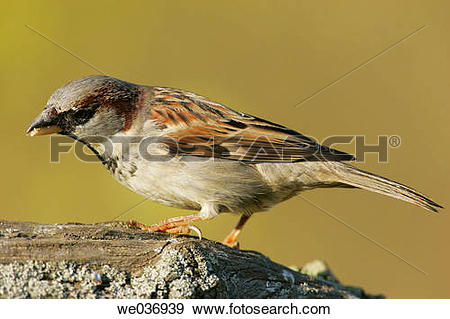 Stock Photograph of Male House Sparrow (Passer domesticus.