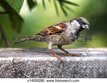 Stock Photography of The House Sparrow (Passer domesticus),Male.