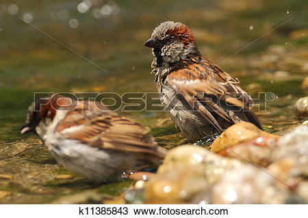 Stock Photo of Passer domesticus sparrows bathing k11385843.