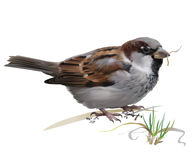 Curious House Sparrow Passer Domesticus Stock Illustrations.