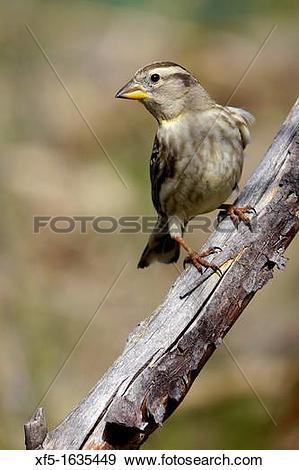 Stock Photograph of Rock Sparrow, Petronia petronia, Passeridae.