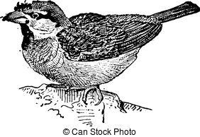 Passeridae Vector Clipart Illustrations. 11 Passeridae clip art.