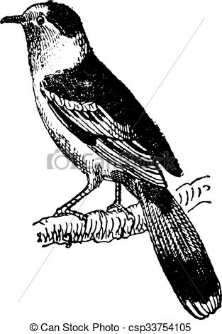 Vector Clipart of Vanga, a passerine bird, vintage engraving.