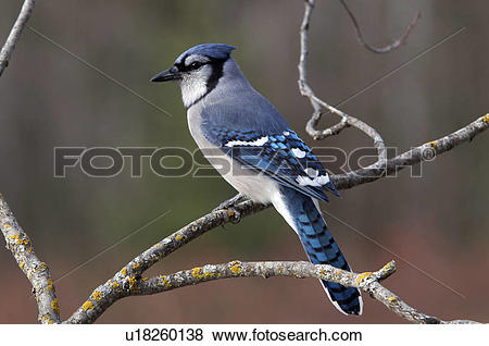 Pictures of The Blue Jay (Cyanocitta cristata). Passerine bird in.