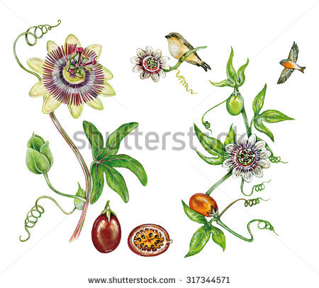 Left Blue Passion Flower Passiflora Caerulea Stock Illustration.