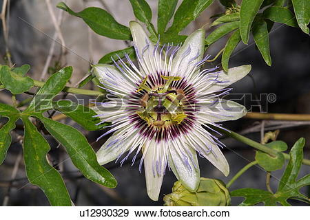 Stock Photograph of Passiflora caerulea flower u12930329.