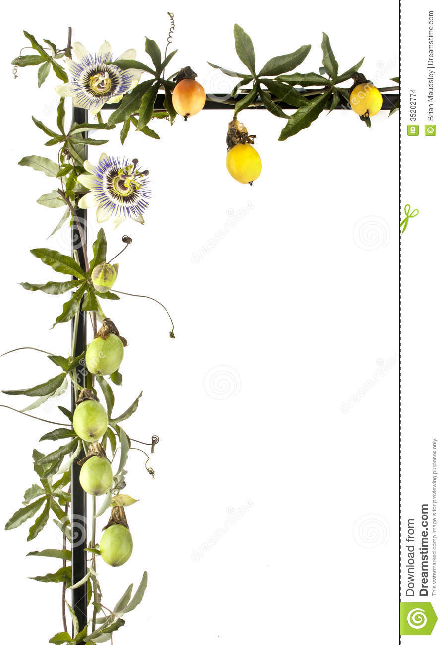 Passion Fruit Vine With Flowers Isolated On White Stock Images.
