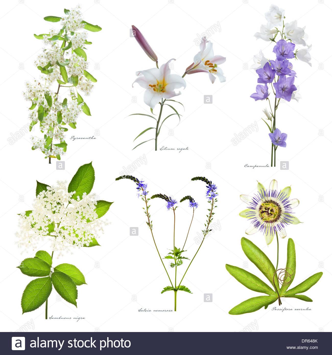 Pyracantha, Lilium Regale, Campanula, Sambucus Nigra, Salvia Stock.