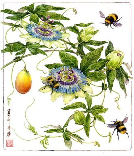 1000+ images about passion flower on Pinterest.
