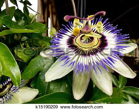 Stock Photograph of Passiflora Caerulea.