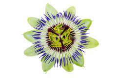 Passion Flower Passiflora Stock Photos, Images, & Pictures.