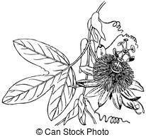 Passiflora Vector Clipart Illustrations. 35 Passiflora clip art.
