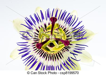 Stock Photography of passion flower.