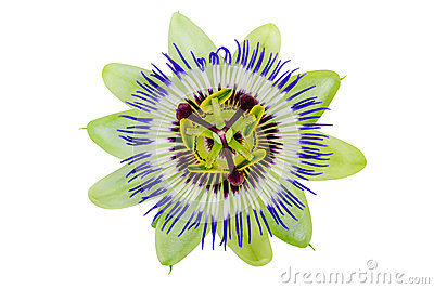 Passion Flower(passiflora) Royalty Free Stock Image.