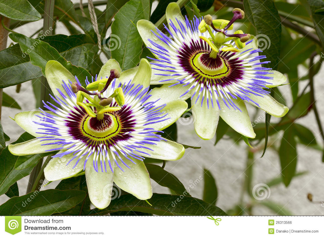 Passion Flower (Passiflora) Royalty Free Stock Image.