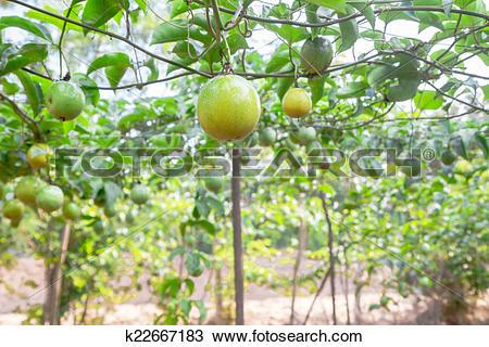 Stock Photo of Passion fruit (passiflora edulis ) k22667183.