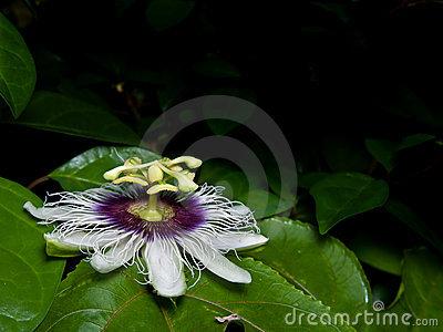 Passiflora Edulis (passion Fruit). Stock Photo.
