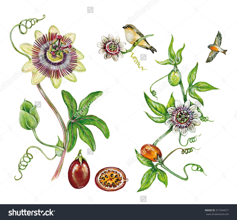 Realistic Illustration Passion Fruit Maracuja Purple Stock.