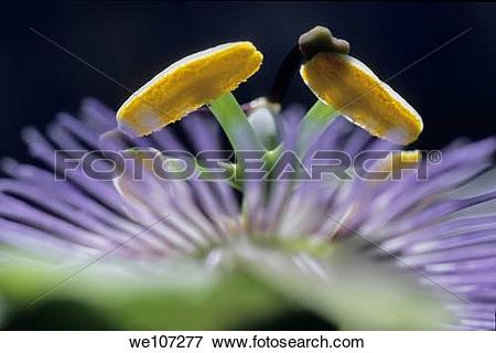 Picture of Stamen of a Passionflower Passiflora edulis, France.