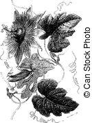 Passifloraceae Vector Clipart Illustrations. 4 Passifloraceae clip.