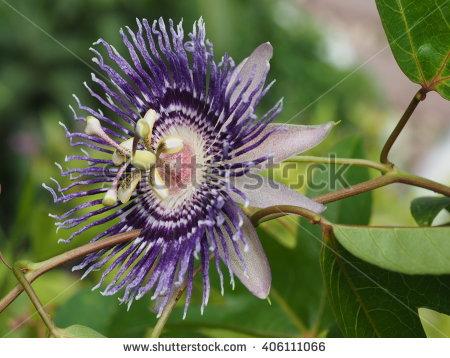 Passifloraceae Banco de imágenes. Fotos y vectores libres de.