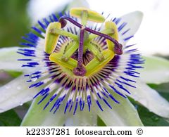 Passifloraceae Images and Stock Photos. 157 passifloraceae.
