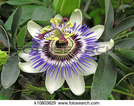 Stock Photograph of passifloraceae plant flowers k10803829.