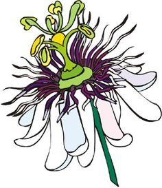 Passiflora incarnata Magnoliopsida Fam. Passifloraceae.