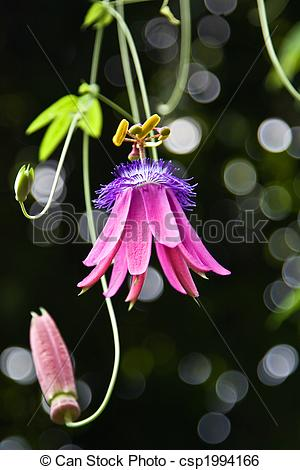 Stock Image of Passifloraceae in the Zurich botanical garden.