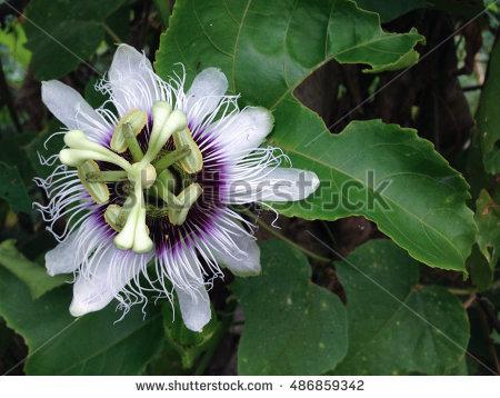 Passifloraceae Stock Photos, Royalty.