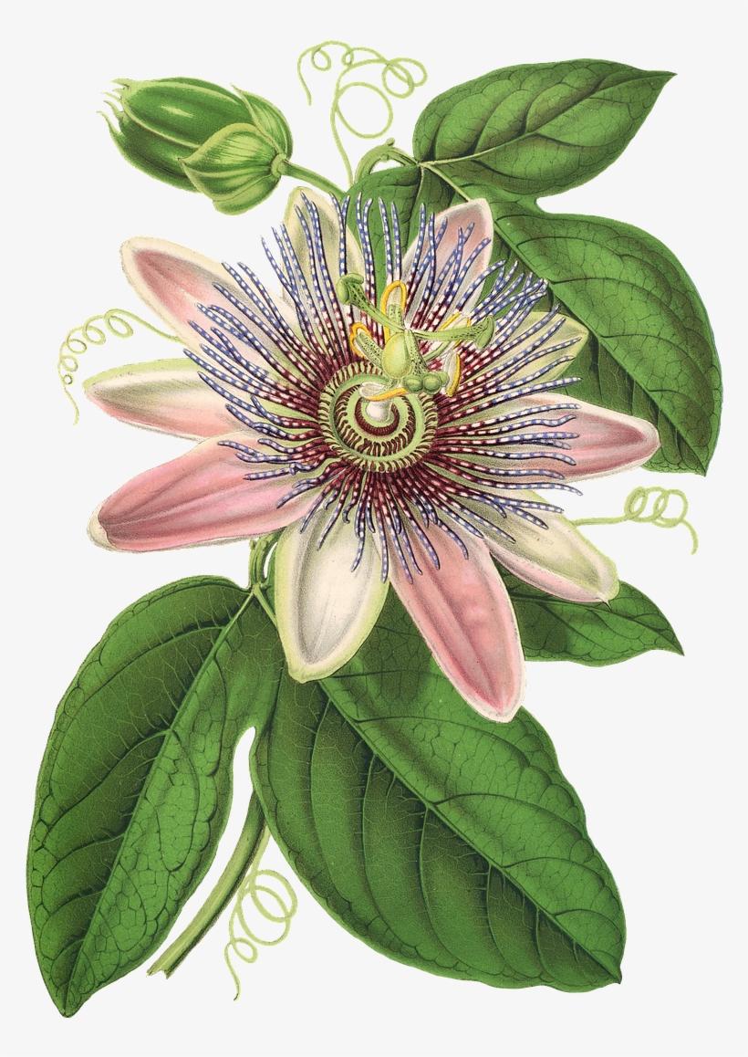 Passion Flower, Flower, Plant, Blossom, Bloom, Vintage.