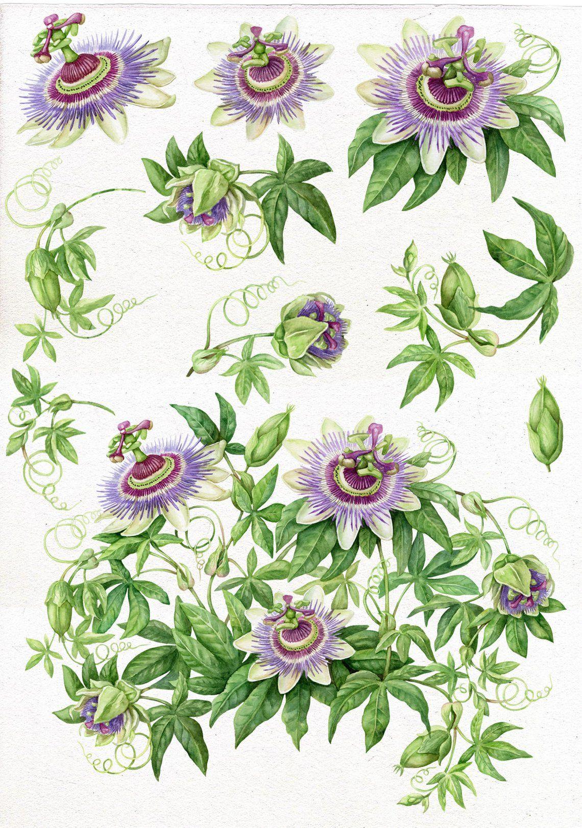 Wedding Clipart, Watercolor Passion Flower, Botanical Art.