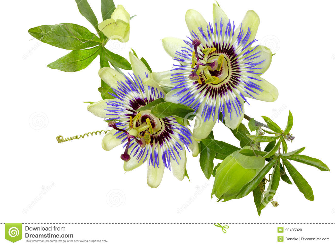 Passion Flower(passiflora) Royalty Free Stock Image.