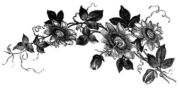 Passion Flower Clipart.