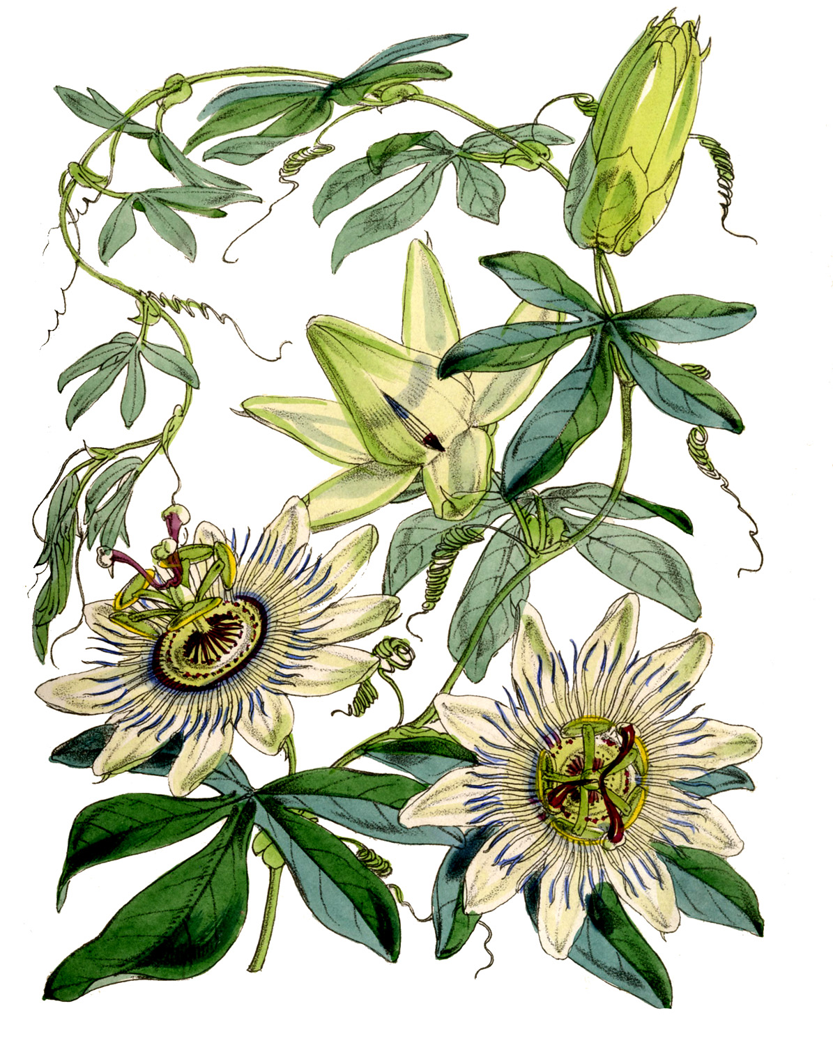 1000+ images about mburucuyá / passion flower on Pinterest.