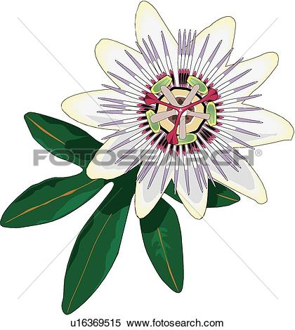 Passion flower Clipart Illustrations. 4,519 passion flower clip.