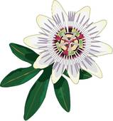 Clipart of Passion Flower u16369515.