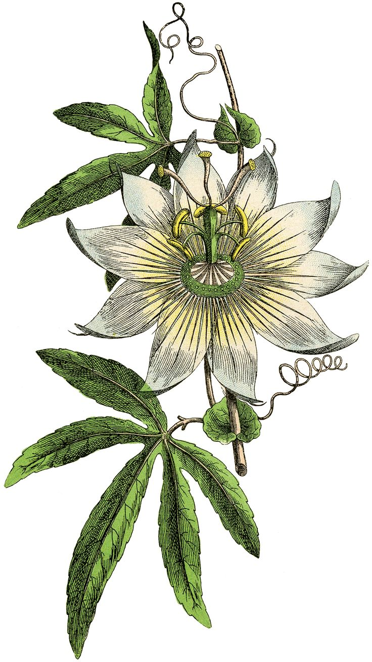 1000+ ideas about Passion Flower on Pinterest.