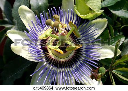 Stock Photo of Passion Vine (Passiflora Incarnata) Flower.