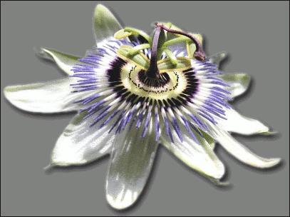 Passion Flower Clip Art Download.