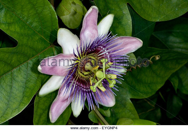 Passiflora Violacea Stock Photos & Passiflora Violacea Stock.